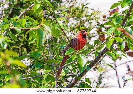 Male Northern Cardinal bird (Cardinalis cardinalis) perching on branch in spring garden. Selective focus.
