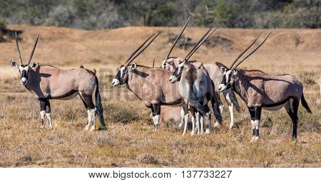 A family group of Gemsbok antelope standing in Southern African savannah