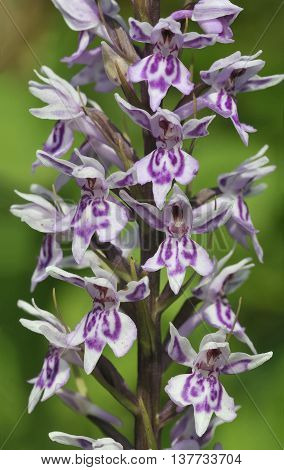 Common Spotted Orchid - Dactylorhiza fushsii Closeup of flowers