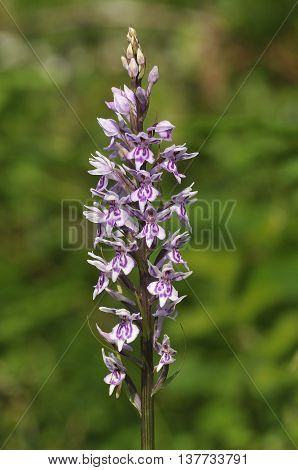 Common Spotted Orchid - Dactylorhiza fushsii Single flower spike