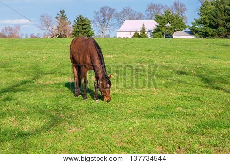 Horse grazing on green pastures of horse farm. Country s[rong landscape.