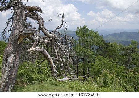 An old dead pine tree overlooks the lushly scenic Appalachian Mountain wilderness of North Carolina in summer
