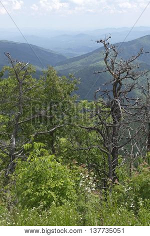 Scenic view overlooking the wild Appalachian Mountain wilderness of North Carolina in summer with forest covered mountains wildflowers and picturesque dead trees