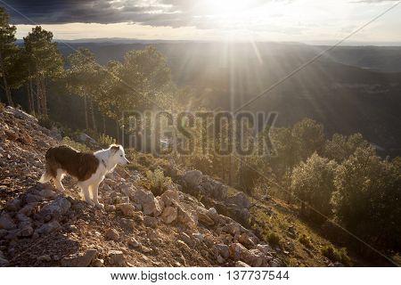 Border Collie on Peak of the mountain