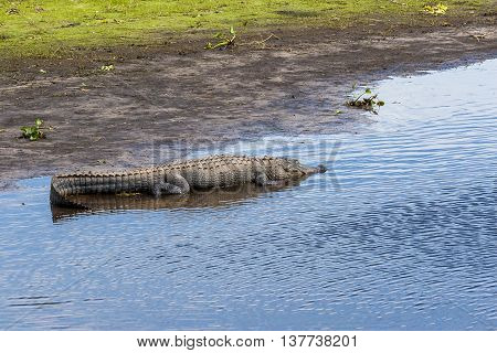 Large alligator resting on river bank at Florida Myakka River State Park.