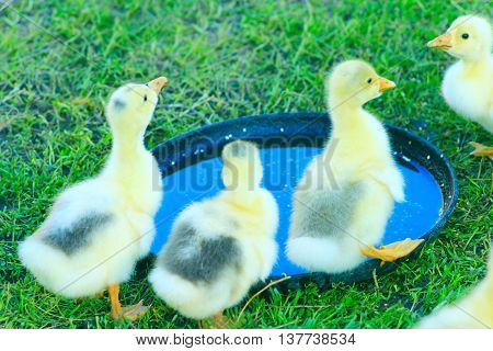 brood of young goslings drink water on the grass in the village
