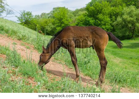 Lonely foal feeding on a spring pasture