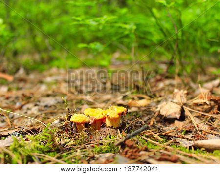 small Chanterelle in the forest found in May
