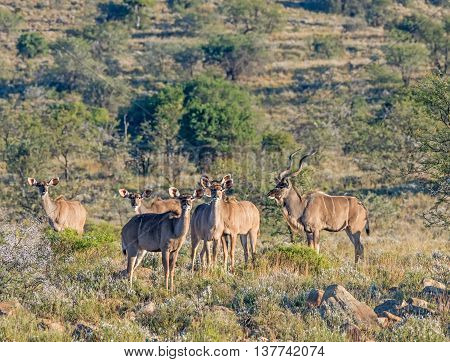 A family group of Kudu standing in Southern African savannah