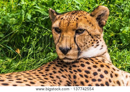 Portrait Of A Wild Cheetah