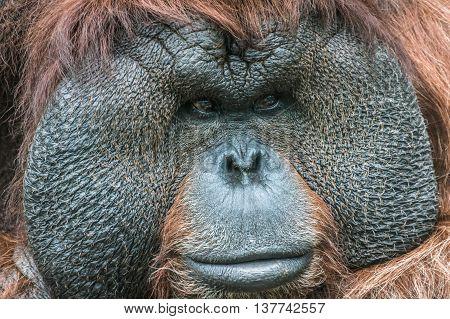 Portrait Of A Bornean Orangutan