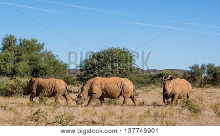 Three White Rhinos walking across savannah in Suthern Africa