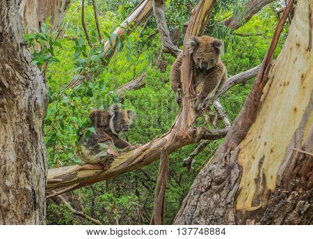 Two koala bears sitting in a tree in Australia