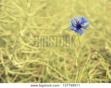 Nice Blue Flower Cornflower In Blossom. Ripe Oilseed Rape Field