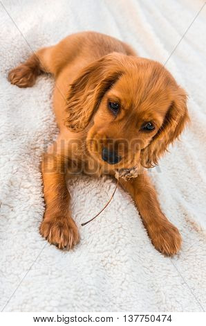 English Cocker Spaniel Puppy Lying On The Blanket