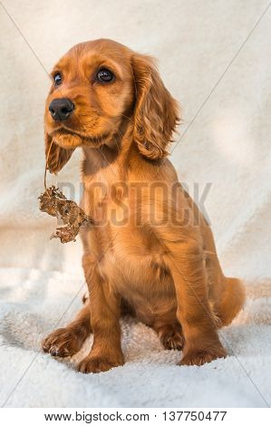 English Cocker Spaniel Puppy Sitting On The Blanket