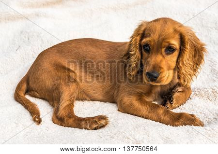 English Cocker Spaniel Puppy Isolated On White Blanket