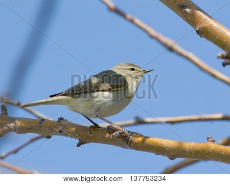 Willow Warbler on the branch Sunny day