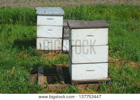 white beehives on grass at the farm for pollination or honey production
