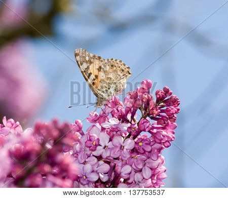 Vanessa cardui or  painted lady in flowers of lilac