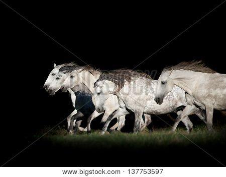 herd of white horses in the dark