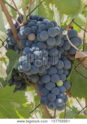 blue delicious juicy ripe sweet vine wine herbs crops summer hot Sunny day Europe leaves fruits fruit berry berries bunch brush branch winemaking Europe travel vacation