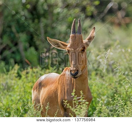 A juvenile Red Hartebeest standing in bushes in the Southern African savannah