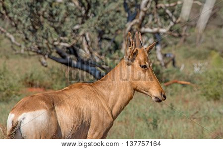 A juvenile Red Hartebeest standing in Southern African savannah