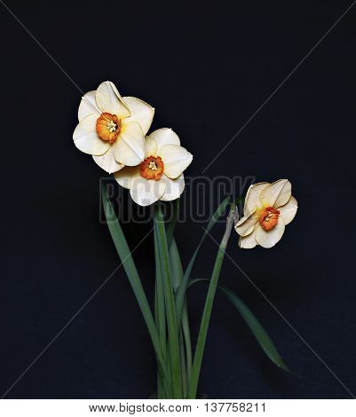 Bouquet of three flowers of daffodils narcissuses isolated on a dark background