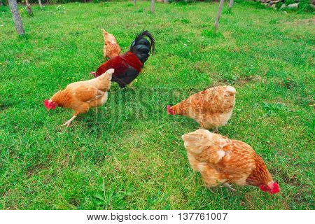 Chickens and rooster in grass on traditional free range poultry farm
