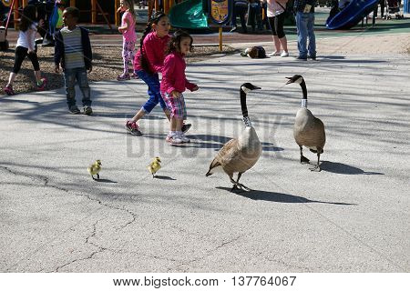 BROOKFIELD, ILLINOIS / UNITED STATES - APRIL 23, 2016: Children interact with a family of Canada Geese (Branta canadensis) at a playground in the Brookfield Zoo.