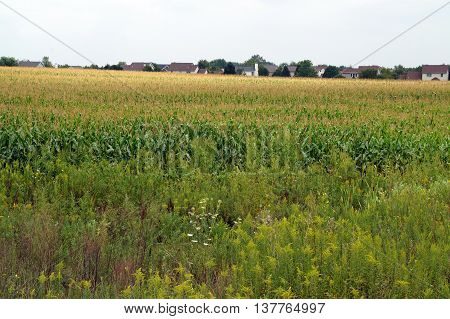 Corn grows in a cornfield in Shorewood, Illinois during August.
