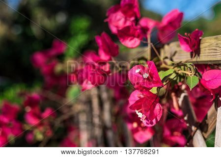 Closeup Of Bouganville Flowers In A Garden