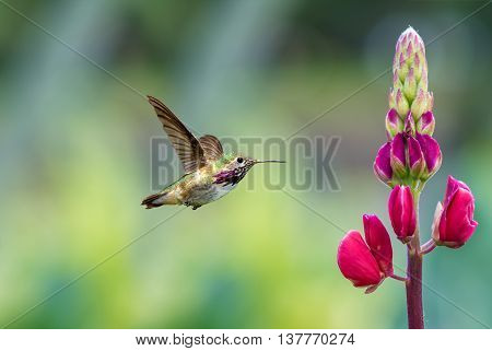 Annas Hummingbird (Calypte anna) in flight at a flower with a green background