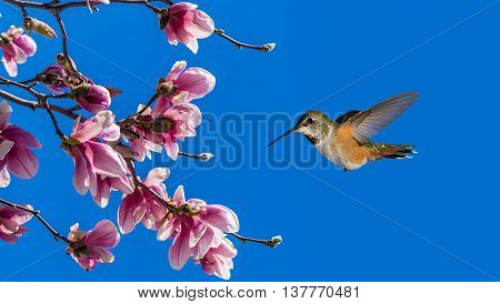 Rufous Hummingbird flying against blue sky background with Blooming Magnolia