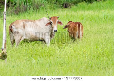 Thai calf turns her back to me on the green field and mother looking