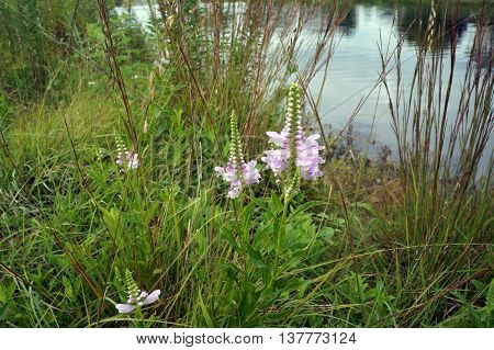 False dragonhead flowers (Physostegia virginiana), also called obedient plant, or obedience, bloom next to a small lake in Shorewood, Illinois during August.