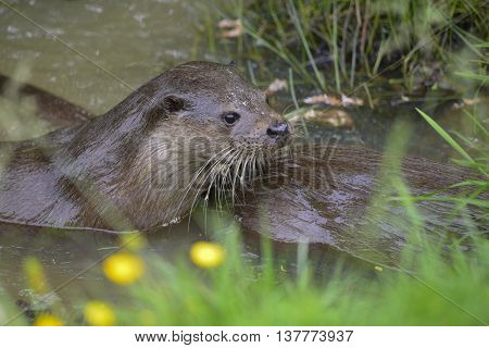 Two Otters Mustelinae Lutrinae Swimming In River In Summer