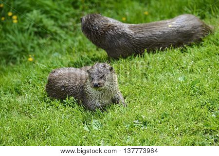 Otters On Riverbank In Lush Green Grass Of Summer In Sunlight