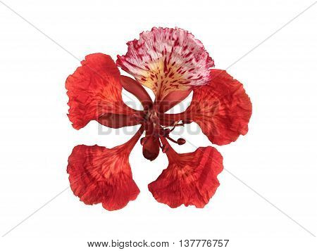 The Flamboyant or Delonix Regia Flower isolated.