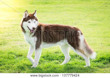 Beautiful siberian husky walking in the park