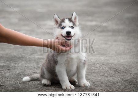 hand with blue eye siberian husky puppy