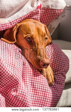 Hungarian Vizsla Wrapped In Duvet Facing Camera