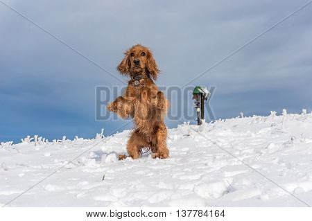 English Cocker Spaniel Playing On The Snow