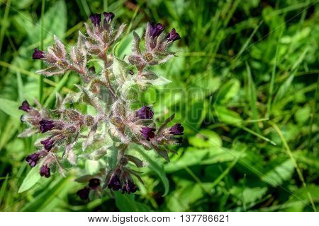Beautiful natural background with dark maroon wild flower Nonea rossica in the grass in a meadow closeup