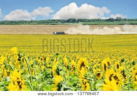 Sunflower field and truck during harvest season