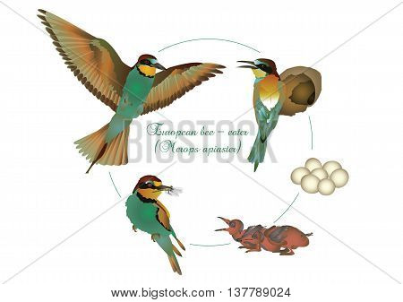 It is illustration of life cycle of European bee-eater.