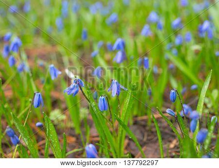 Wildflowers Scilla siberica (Scilla) in the grass
