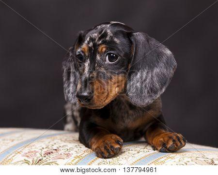 purebred dachshund dog