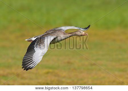 Greylag goose (Anser anser) in flight with vegetation in the background